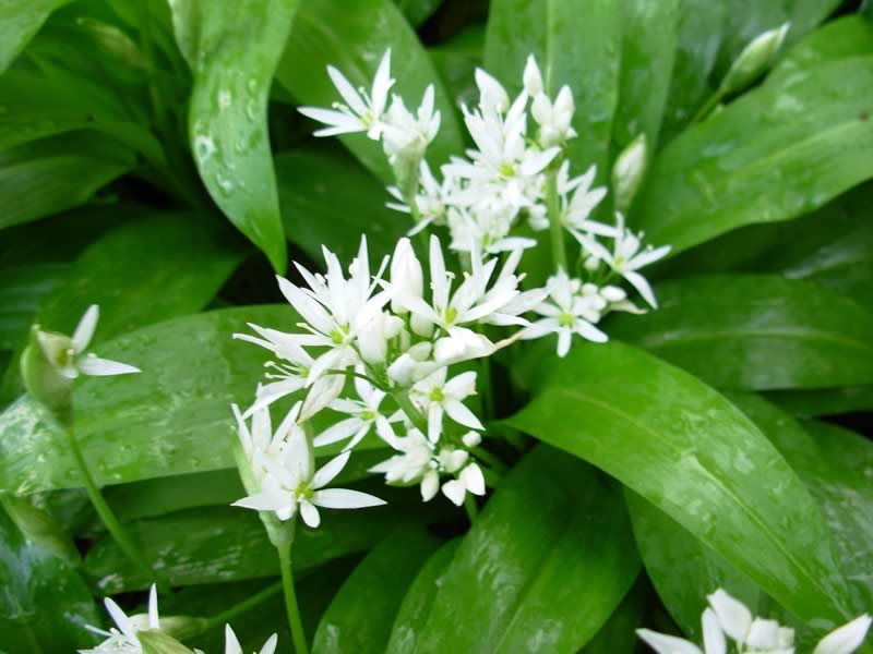 Wild Garlic Plant Finding Wild Garlic